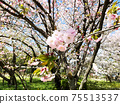 Image of spring, pink cherry blossoms 75513537