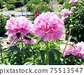 Peony flower flowers 75513547