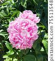 Peony flower flowers 75513548