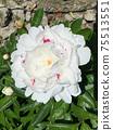 Peony flower flowers 75513551