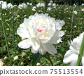 Peony flower flowers 75513554