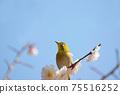 Mejiro and plum blossoms 75516252