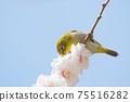 Whitetail sucking honey of white plum blossoms 75516282