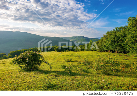 green grass on the meadow in mountains. sunny summer morning in carpathian countryside. rosebush on the hill. beech forest in the distance. clouds on the blue sky 75520478
