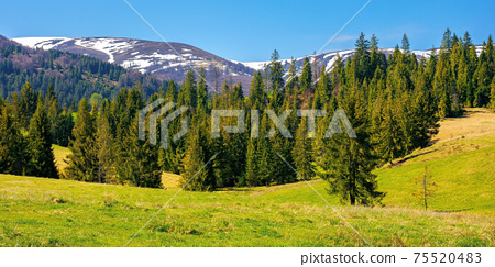 mountainous countryside in spring. rural fields and pastures in green grass. spruce forest on the rolling hills. distant alpine meadows of borzhava ridge in snow. sunny day in carpathians, ukraine 75520483