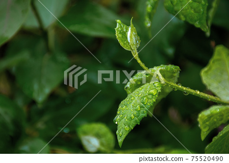 dew drops on the green leaves. wonderful close up nature background. freshness concept 75520490