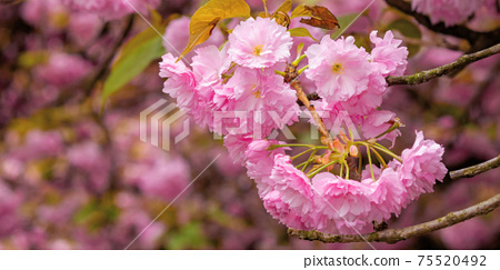 blooming pink flowers of sakura. cherry blossom season in springtime. close up nature background 75520492