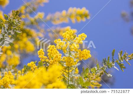 黃含羞草自然景觀花 75522877
