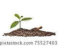 Coffee tree and scooper on a pile of coffee beans isolated on white background 75527403