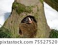 棕櫚麝貓在洞穴Paguma幼蟲中小睡 75527520