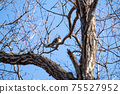 Winter thrush staying on a deciduous tree branch 75527952