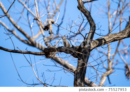Bulbul staying at the tip of a branch under the winter sky 75527953