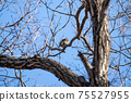 Winter thrush staying on a deciduous tree branch 75527955