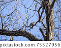 Winter thrush staying on a deciduous tree branch 75527956