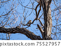 Winter thrush staying on a deciduous tree branch 75527957