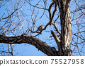 Winter thrush staying on a deciduous tree branch 75527958