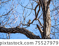 Winter thrush grooming while staying on deciduous tree branches 75527979