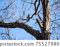 Winter thrush grooming while staying on deciduous tree branches 75527980