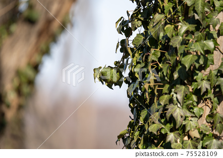 Winter vines whose branches have begun to wither 75528109