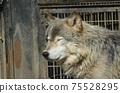 東部狼犬狼瘡lycaon 75528295