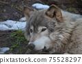 東部狼犬狼瘡lycaon 75528297