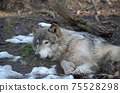 東部狼犬狼瘡lycaon 75528298