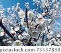 Plum blossoms 1 75537839