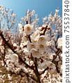 Plum blossoms 2 75537840