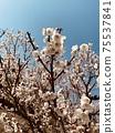 Plum blossoms 3 75537841