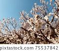 Plum blossoms 4 75537842
