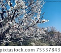 Plum blossoms 5 75537843