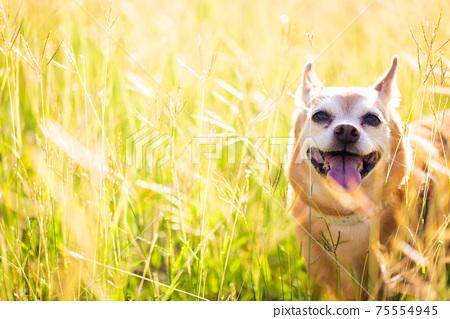 狗在黃昏 75554945