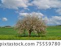 Blooming tree in green field in spring 75559780