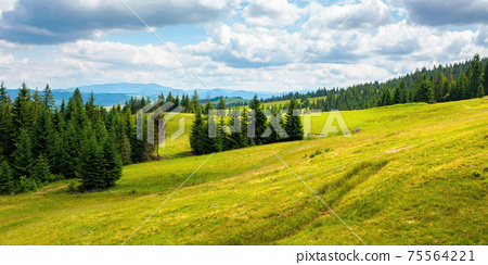 coniferous forests in mountains. summer landscape with green grass on the hills. nature scenery on a sunny day with clouds on the sky 75564221