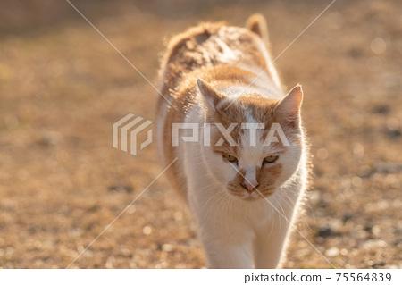 cat貓棕白貓 75564839