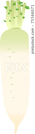 Illustrations of Japanese radish 75566071