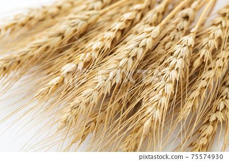 小麥的耳朵 75574930