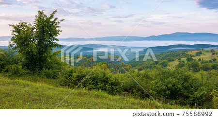 mountainous countryside scenery at dawn. distant valley full of fog in summer. plants and trees on the hill. beautiful landscape with clouds on the sky 75588992