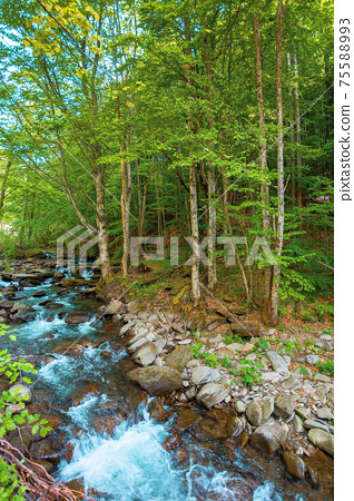 mountain river runs through forest. summer nature scenery on a sunny day. rapid water flows among the rocks. trees on the shore in lush green foliage 75588993
