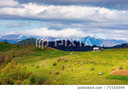 rural fields on rolling hills in springtime. borzhava mountain ridge in the distance. carpathian landscape of ukraine. area of synevy national park. nature scenery in dappled light 75588994