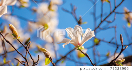 white magnolia blossom in the garden. springtime nature background on a sunny day. delicate flowers close up. romantic card concept 75588996