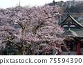 櫻花日本春天日本心 75594390
