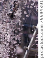 櫻花背景模糊日本垂枝櫻花 75594391