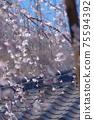 垂枝櫻花背景模糊磚屋頂和藍藍的天空 75594392