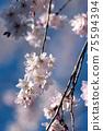垂枝櫻花和藍藍的天空背景散景粉紅色的花瓣 75594394