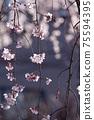 垂枝櫻花,透射光之美,背景模糊 75594395