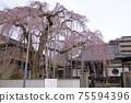 垂枝櫻花,盛開的七個部分,日本春天,遠景 75594396