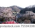 垂枝櫻花和江戶猩紅色櫻花早盛開的櫻花 75594398
