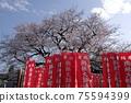 江戶猩紅色櫻花和青空工房大石 75594399