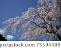 垂枝櫻花和藍天Hayasaki垂枝櫻花,俯瞰屋頂 75594400